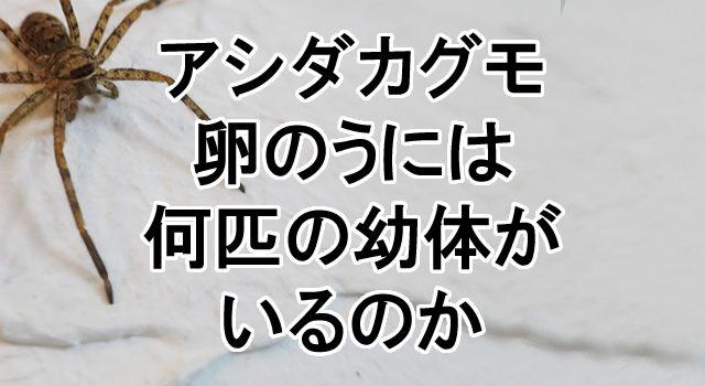 アシダカグモの画像 p1_33